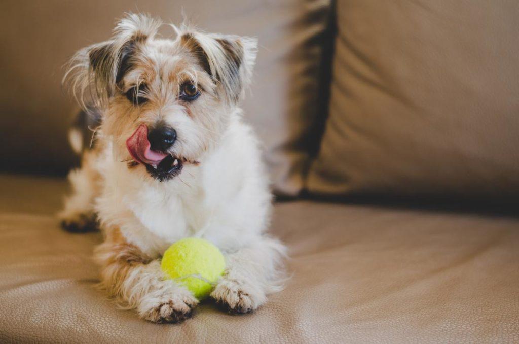 Dog playing with tennis ball