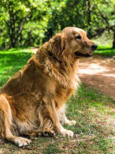 senior dog sitting