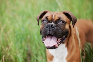 boxer dog open mouth attack