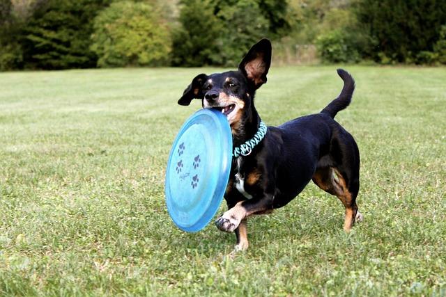 dachshund playing frisbee