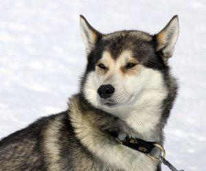 husky snow dog