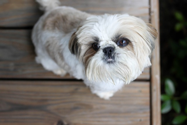 shih tzu porch