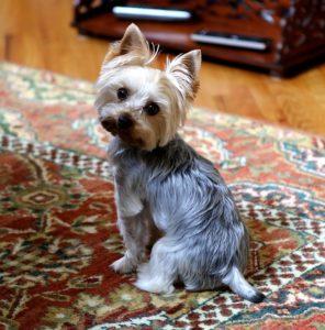 yorkie dog
