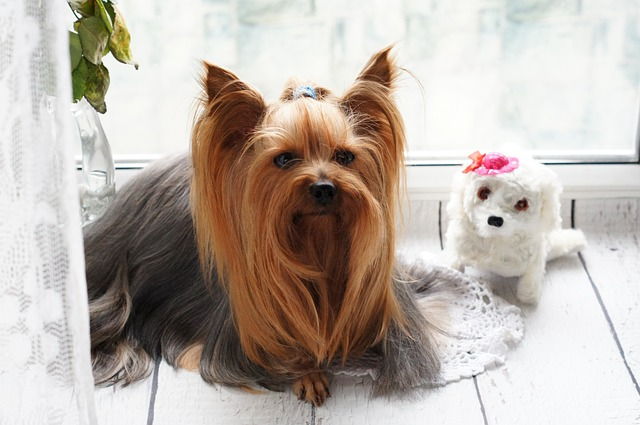 yorkie adult dog and yorkie puppy