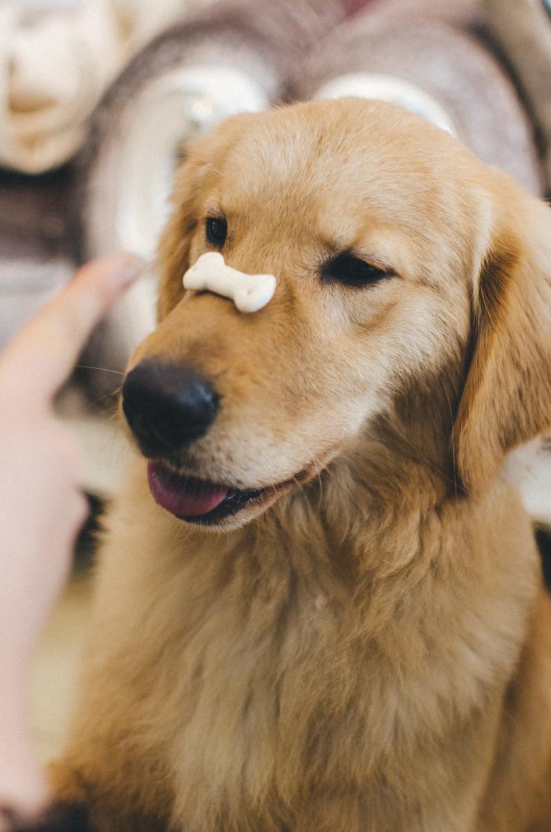 golden retriever obedience training