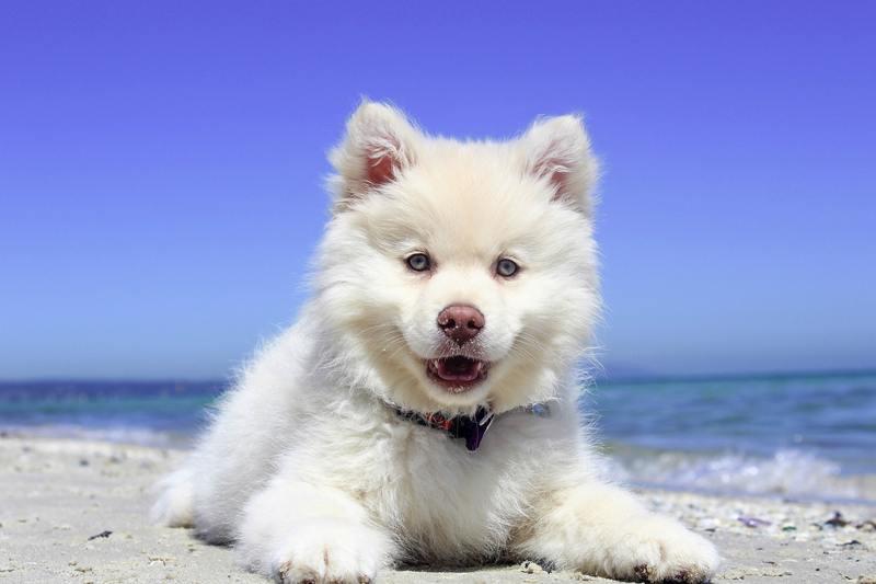 samoyed in beach
