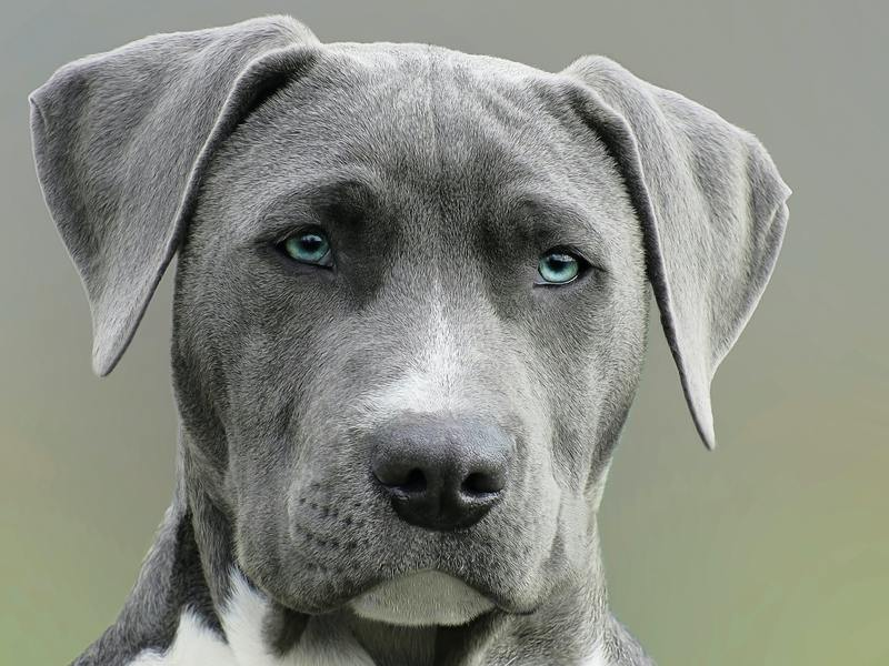 Pitbull mix dog