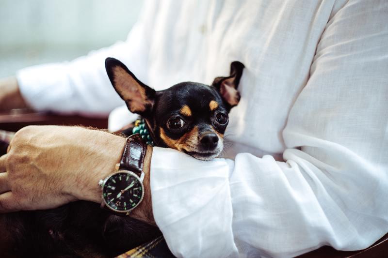 Chihuahua on arm